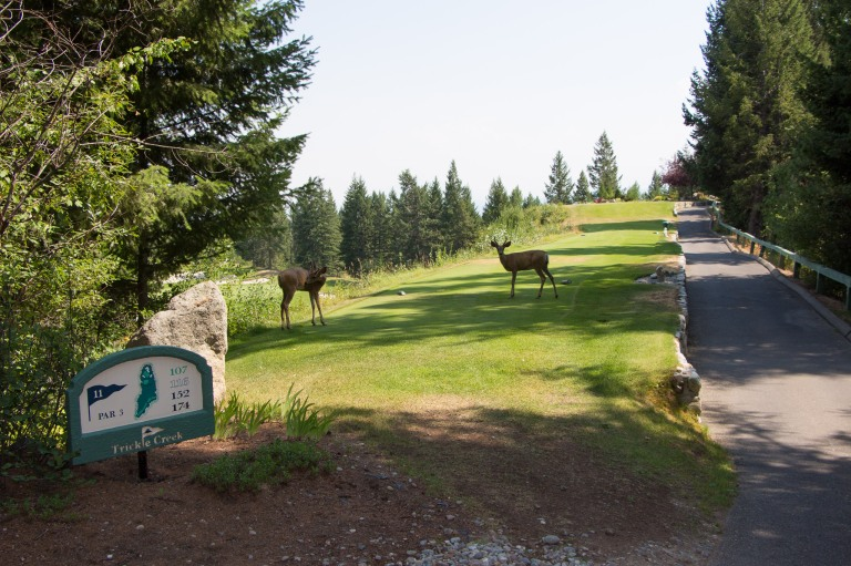 Deer greet golfers on signature hole 11 at Trickle Creek in Kimberley BC - P Worthington-8656