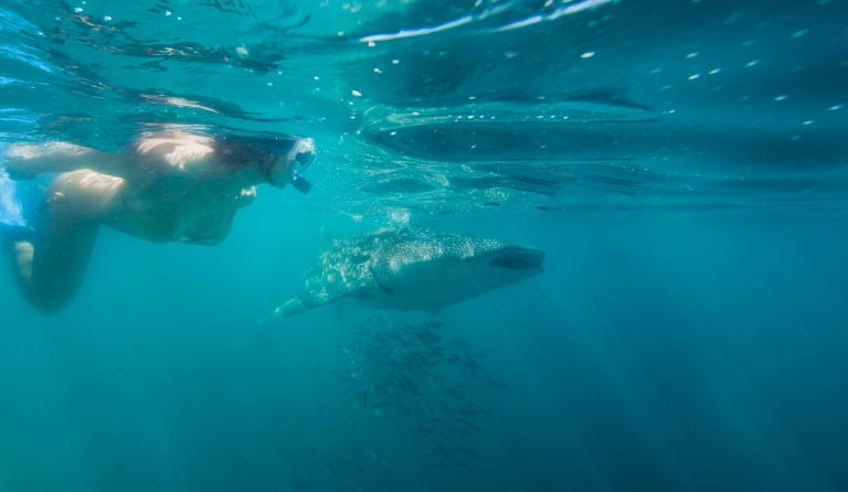 Snorkeling - Whale Sharks- care of Tourism La Paz